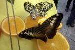 «Сад живых бабочек»